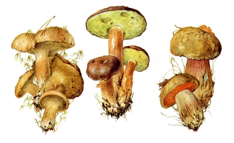 Козляк, польский гриб, дубовик обыкновенный