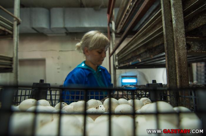 Ежемесячно на крестьянском (фермерском) хозяйстве «Грибная страна», собирают 140 тонн шампиньонов.