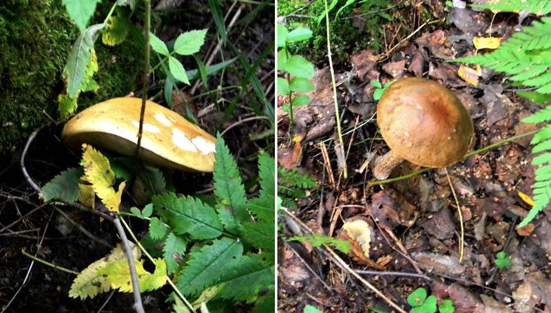 Белый гриб и подберезовик
