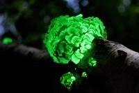 Многие грибы могут излучать видимый свет