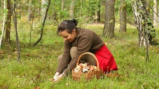 В России сбор и заготовка грибов с давних пор приравниваются к одному из национальных видов спорта. От грибника требуется проявить терпение, выносливость и, как минимум, внимание.