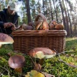 В Волгоградской области за три часа собрали 200 кг грибов