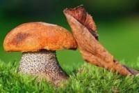 Около Гродно пройдет грибной фестиваль