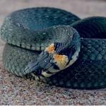 Змеи размножаются. В Подмосковье возможно нашествие гадюк в 2015 году