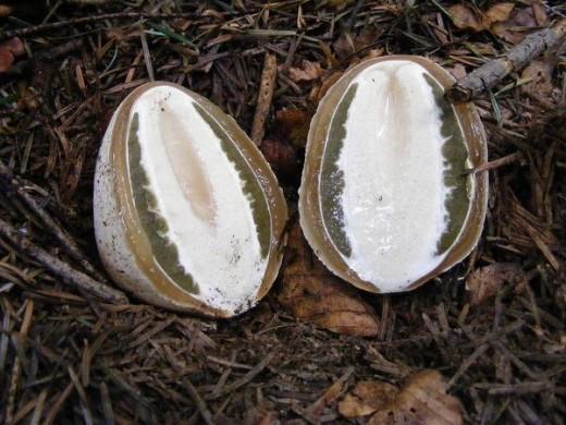 Плодовое тело образуется очень быстро, скорость роста достигает нескольких миллиметров в минуту. Французы (частично и немцы) поедают этот гриб как свежий редис (в молодой стадии «яйца»), предварительно сняв оболочку.