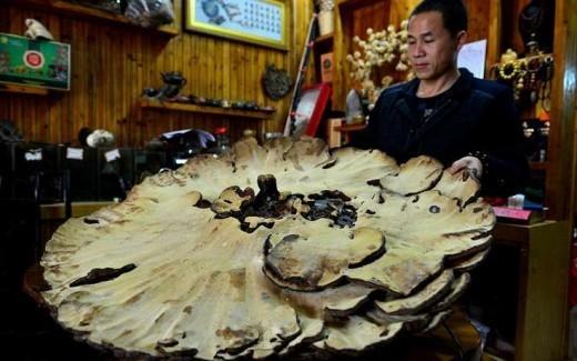 В Китае найден гигантский «гриб бессмертия» диаметром 107 см