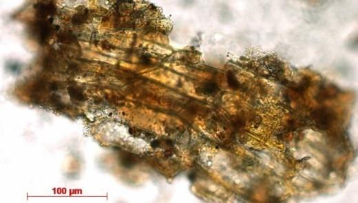 Растительный фрагмент, обнаруженный в зубном камне Красной леди Эль-Мирона. (фото MPI f. Evolutionary Anthropology/R. Power).