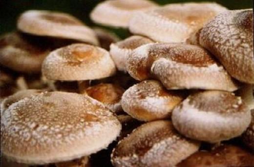В Пензенской области китайцы будут выращивать грибы шиитаке