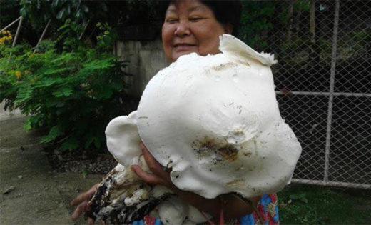 Гриб Tricholoma crussum, в Тайланде его называют Хед Джан, признан самым большим в этом грибном сезоне.