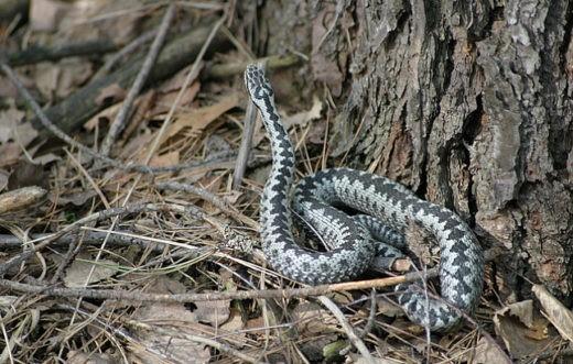 Гадюки в Подмосковье вышли из зимней спячки на месяц раньше. Эксперт НСН рассказал о том, как отличить ядовитую змею от ужа, и что делать, если она укусит человека.