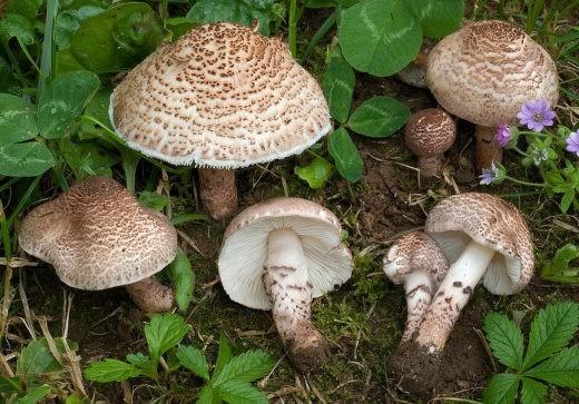 Лепиота коричнево-красная - один из самых ядовитых грибов. Смертельно опасен. Этот гриб содержит самые сильные яды — нитрилы и цианиды.