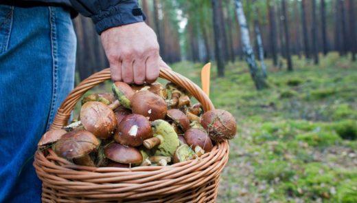 Самое главное правило грибника: не срезать неизвестные грибы. И это абсолютно верно: некоторые грибы настолько ядовиты, что их употребление может привести к смерти. В нашей подборке — смертельно ядовитые грибы.