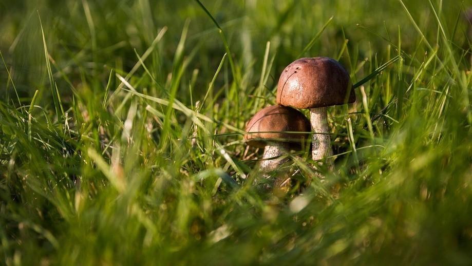 Высокий урожай грибов ожидается в Подмосковье