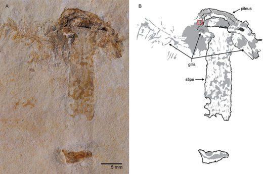Команда учёных из Иллинойсского университета в Урбане-Шампейне нашла на северо-востоке Бразилии остатки пластинчатого гриба возрастом 115 млн лет.
