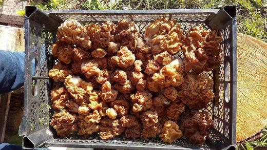 Ярославцы до сих пор хвастаются своими находками первых весенних грибов, хотя сморчки и строчки уже должны были бы отойти, ведь сезон их роста обычно приходится на конец апреля - начало мая