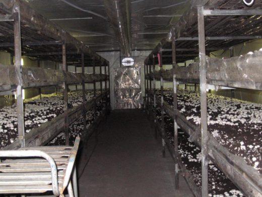 В селе Покойном на Ставрополье, помимо привычной уже для потребителя вешенки обыкновенной, начнут выращивать грибы шиитаке и королевскую вешенку.