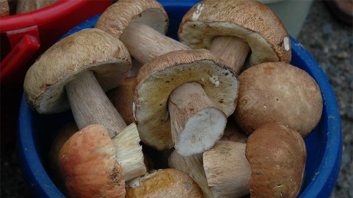 В Алтайском крае наблюдается грибной бум