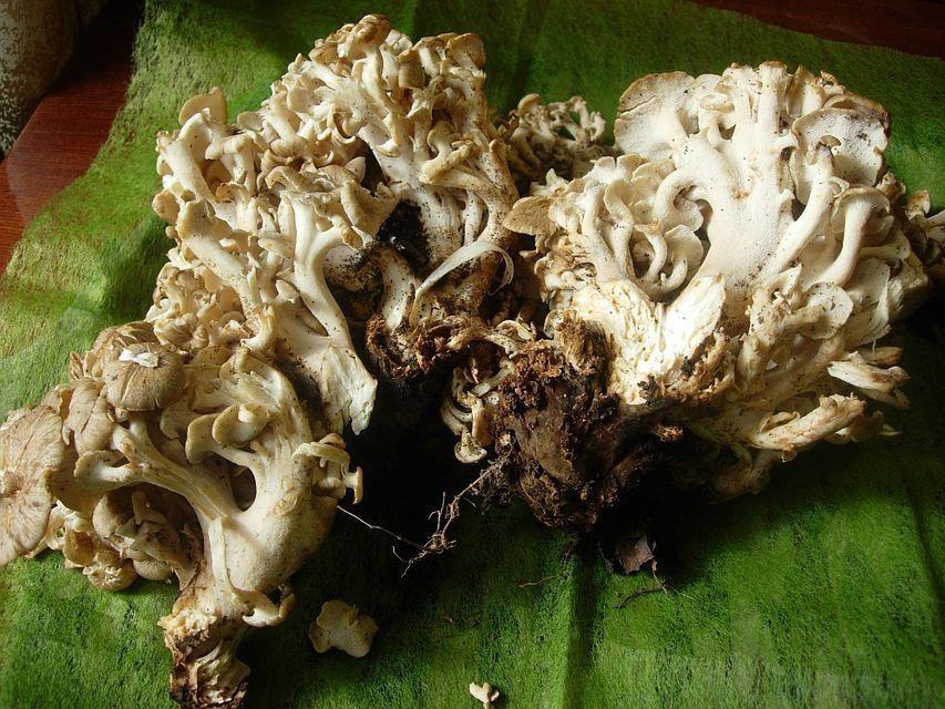 В Пермском крае нашли гигантский гриб с 250 шляпками