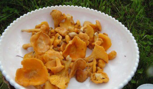 Уже начали расти первые грибы в селе Пыщуг Костромской области, в лесу можно нарвать кипрея, зверобоя и других лечебных трав и собрать грибы - лисички