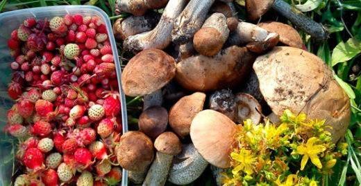 Как избежать штрафов, собирая грибы и ягоды