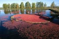 Клюквенные болота Подмосковья взяли под охрану