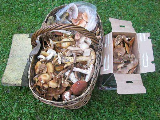 Всего же различных грибов набрал полную ведёрную корзину. Пришлось задействовать и картонную коробку, которую нёс в рюкзачке.