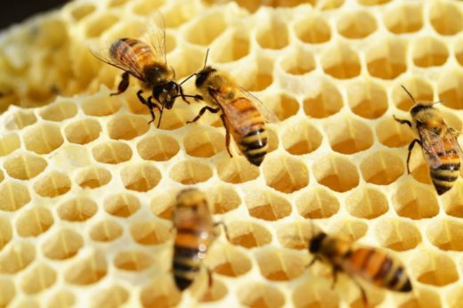Американские ученые протестировали воздействие экстрактов из гриба рейши на здоровье пчелиных колоний.