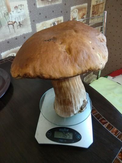 Воронежец похвастался белым грибом-гигантом, ножку которого едва можно обхватить рукой.