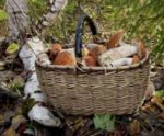 В Красноярске разгар сезона грибов