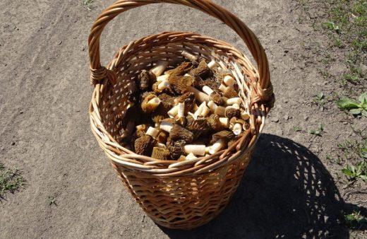 ВНовосибирске начался грибной сезон— жители города иобласти делятся нафорумах, гдесейчас можно найти первые весенние грибы сморчки.