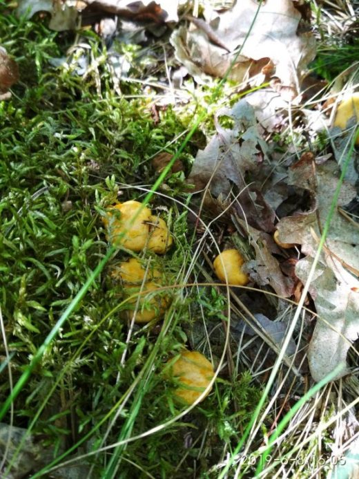 Сбор грибов в Бресте начался: белые, лисички и подосиновики