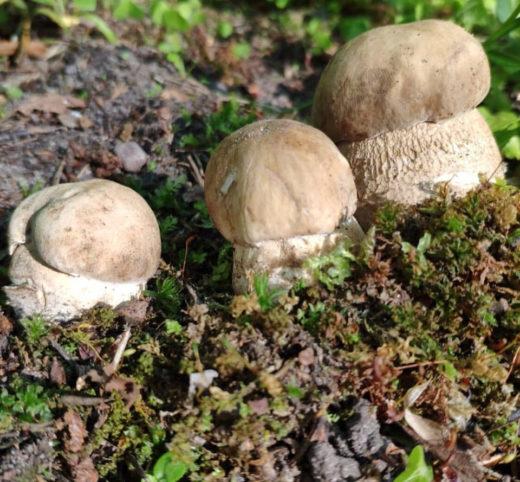 Как мы сообщали ранее, первые грибы (причём - белые!) были замечены в начале июня - их нашла девушка Мария в Дубках (Ломоносовский район).