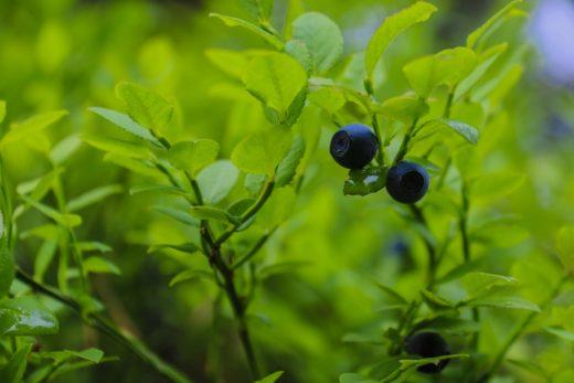 В Тверской области начался сезон ягод и грибов. Любители леса делятся фотографиями в социальных сетях.