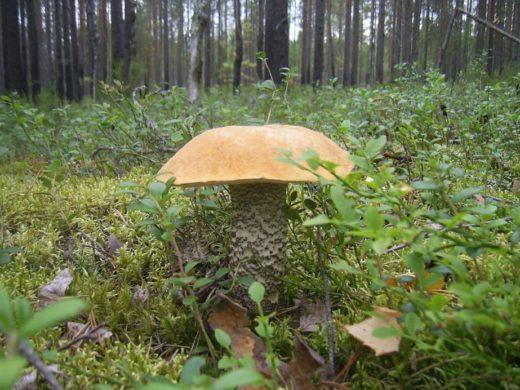 Главное в походах за грибами — четкая тактика. Иногда заходить глубоко в лес в поисках нетронутых мест — просто бессмысленно. Фото: Сергей Баранов