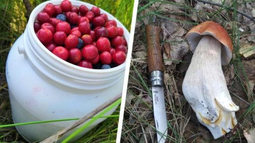 В лесах под Новосибирском вовсю растут грибы и созрели ягоды. Фото: Виктория Н.; Honestly
