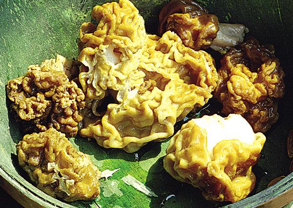 Строчок (Gyromitra esculenta, отдел сумчатые) - плодовое тело строчка обыкновенного похоже на головной мозг или грецкий орех