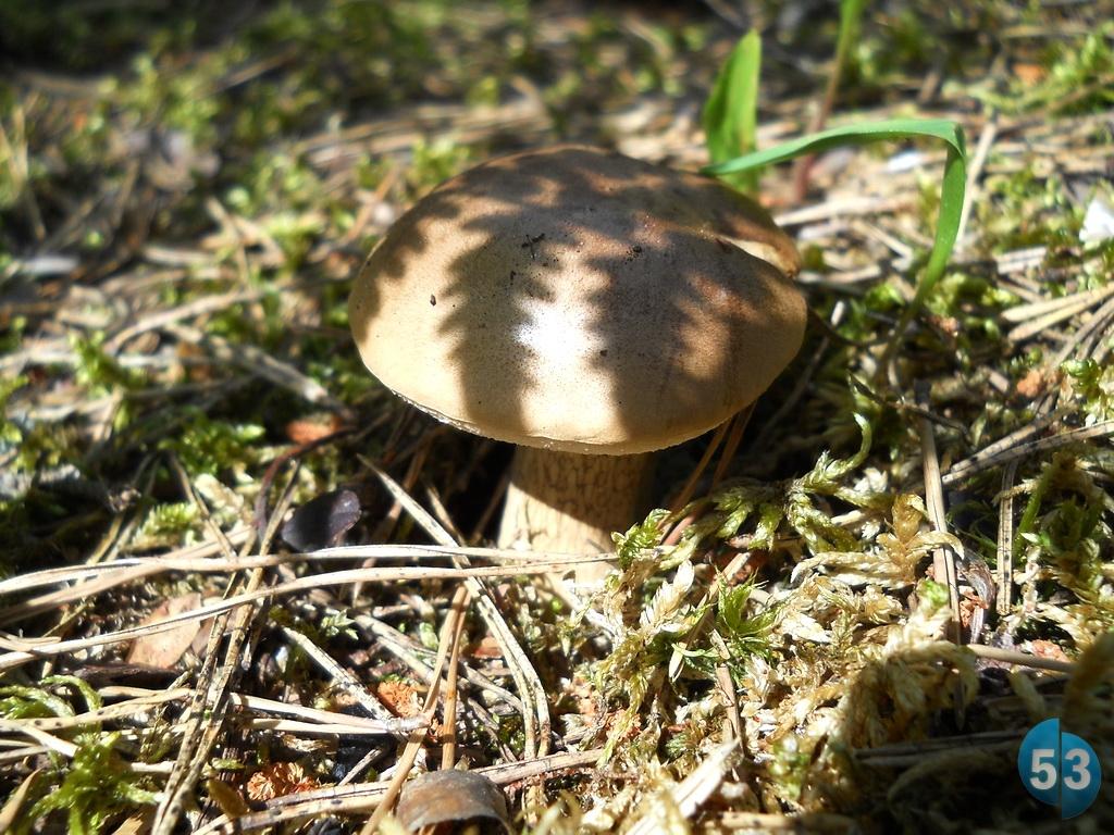 В Новгородской области на два месяца раньше нормы появились некоторые виды грибов