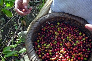 На кофейные плантации Америки напал гриб-паразит