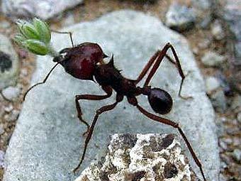 Предки современных муравьев выращивали грибы