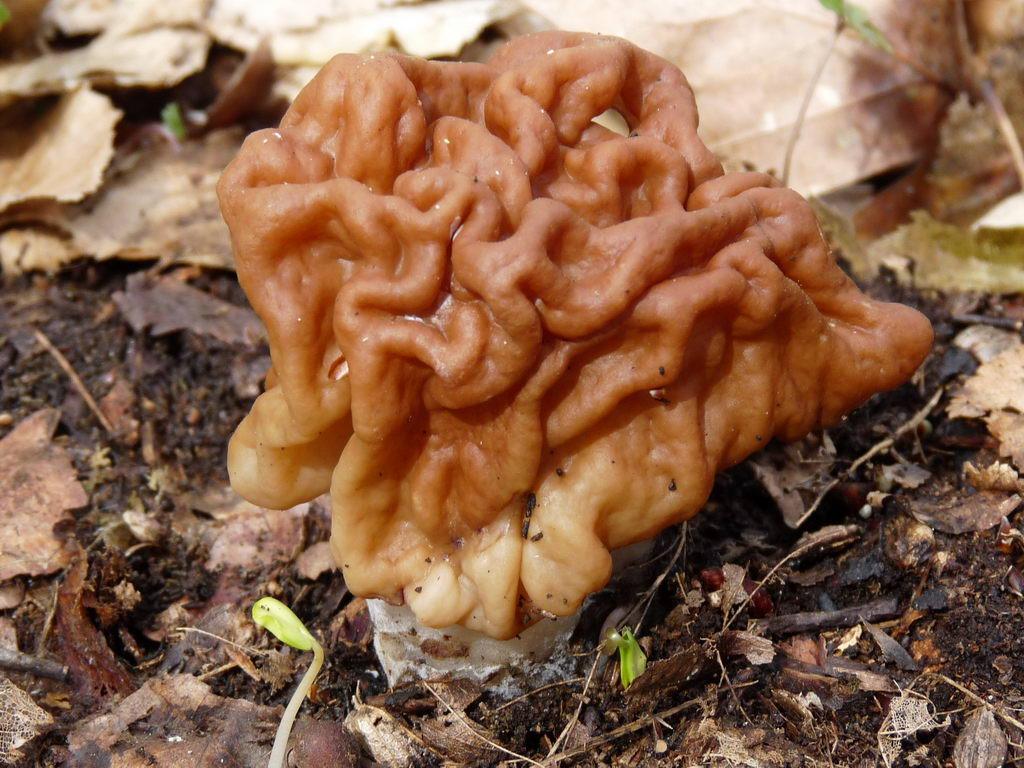 Строчок гигантский (Discina gigas) – оправдывает своё название, это действительно гигант грибного царства