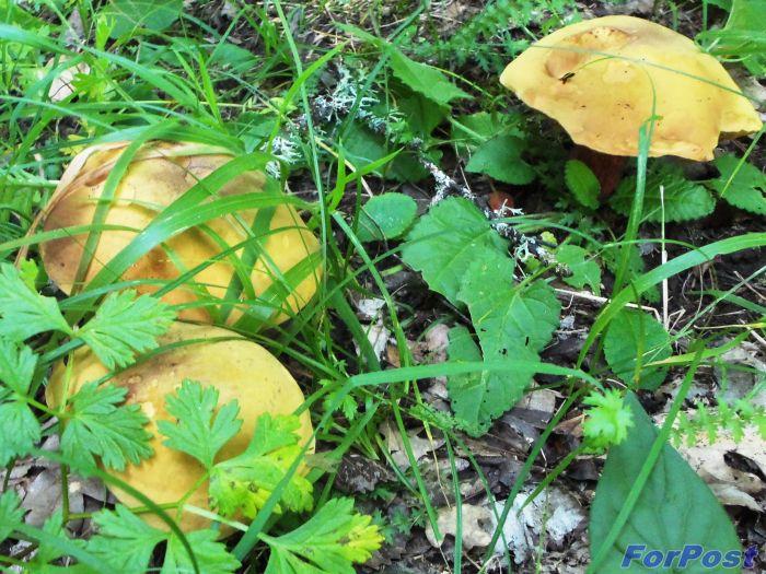 Грибы в севастопольских лесах есть! Только места надо знать…