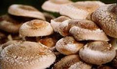 В районе собрали первый урожай грибов, выращенных в теплице