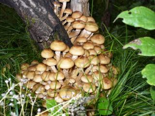 Опята в лесу