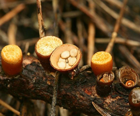 Птичье гнездо (Nidulariaceae) - гриб, относящийся к группе плесневых, своим названием гриб обязан необычному внешнему виду, напоминающему птичье гнездо с крошечными яичками