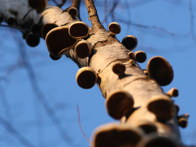 Сабина Сане из Университета Фрайбурга заявила о том, что ей удалось найти способ, с помощью которого можно производить экологически чистую электроэнергию из грибов, растущих на деревьях