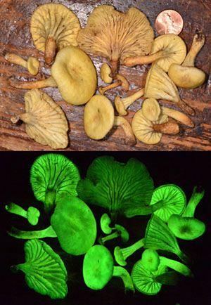 Светящиеся в темноте грибы заново обнаружены спустя 170 лет