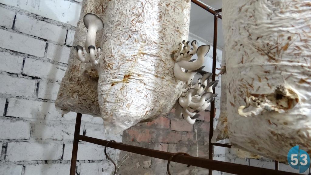 Вешенки растут в «чулках», подвешенные, как колбаски