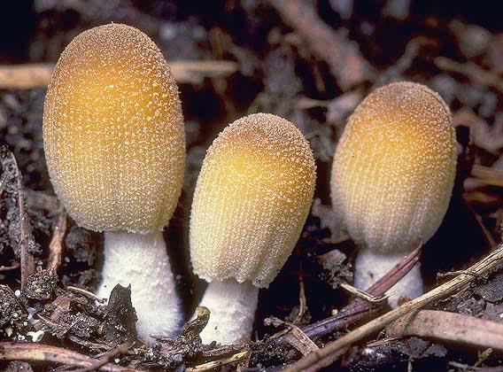 Навозник крошащийся, или мерцающий (Coprinus micaceus)