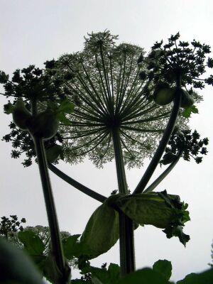 Геракл из царства растений жалит пострашнее крапивы: чем опасен борщевик?
