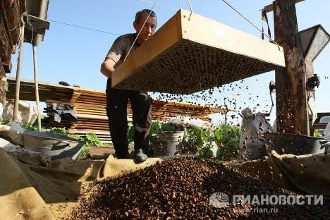 Ореховый бизнес пока далек от цивилизованного. Фото РИА Новости